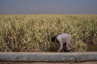 تشنگی مزارع و بیحقوقی کارگران
